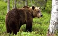 Νεκρή αρκούδα από τροχαίο στην Εγνατία οδό