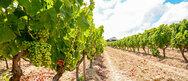Στήριξη στον κλάδο κρασιού με δύο εκατ. ευρώ στον 'πράσινο τρύγο'