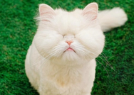 Moet - Η τυφλή γάτα Περσίας με τους χιλιάδες online θαυμαστές (φωτο)