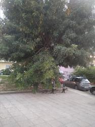 Πάτρα: Έσπασαν κλαδιά δέντρου σε πλατεία στα Ζαρουχλέικα - Από τύχη δεν τραυματίστηκε κανείς