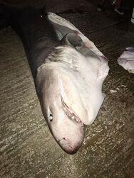 Έναν καρχαρία - σαπουνά έβγαλαν στα Αραχωβίτικα (φωτο)