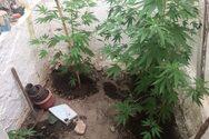 Eντόπισαν 4.000 χασισόδεντρα στα σύνορα Άρτας-Πρέβεζας