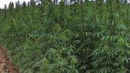 Εντοπίστηκε φυτεία με 431 δενδρύλλια κάνναβης σε περιοχή της Λίμνης Πλαστήρα