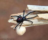 Πάτρα: Τι είναι η αράχνη «μαύρη χήρα» που παραλίγο να σκοτώσει 10μηνο βρέφος