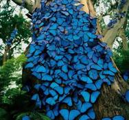 Εντυπωσιακές μπλε πεταλούδες στον κορμό δέντρου