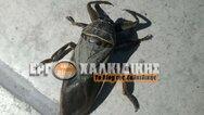 Χαλκιδική: Εμφανίστηκε το σπάνιο και μεγαλύτερο υδρόβιο έντομο λιθόκερος (φωτο)
