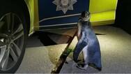 Πιγκουίνος κάνει τη βόλτα του σε δρόμο στην κεντρική Αγγλία
