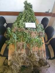 Δυτική Ελλάδα - Καλλιεργούσε σε δασική έκταση 26 δενδρύλλια κάνναβης