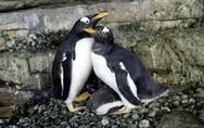 Ομόφυλο ζευγάρι πιγκουίνων υιοθέτησε το δικό του νεοσσό