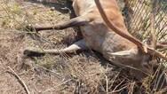 Πυροβόλησαν και σκότωσαν ελαφάκι στους πρόποδες της Πάρνηθας (φωτο)
