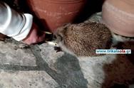 Τρίκαλα: Αυτός ο σκαντζόχοιρος έχει γίνει κατοικίδιο! (video)