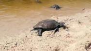 Ικαρία: Χελωνάκια κολυμπούν στην παραλία Μεσακτή (video)
