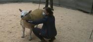Αυτό είναι το ακριβότερο πρόβατο του κόσμου