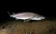 Προστατευόμενο είδος ο καρχαρίας που αλιεύτηκε στο Άγιο Όρος (video)