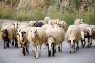 Δυτική Ελλάδα: Eντοπίστηκαν επιβεβαιωμένα κρούσματα καταρροϊκού πυρετού σε αιγοπρόβατα