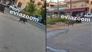 Αγριογούρουνο έκανε βόλτες στους δρόμους της Χαλκίδας (φωτο)