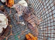 Η Σέριφος στο επίκεντρο για ένα λεοντόψαρο που βρέθηκε στα δίχτυα ψαρά…