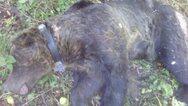 Φλώρινα: Επιχείρηση διάσωσης για αρκούδα που παγιδεύτηκε σε συρμάτινη θηλιά