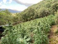 Αχαΐα: Κατασχέθηκαν 710 δενδρύλλια κάνναβης σε χωριό των Καλαβρύτων (φωτο)