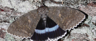 Ανακάλυψαν πεταλούδα σε μέγεθος πουλιού στο Τσερνόμπιλ