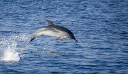 Οι Ιρλανδοί ψάχνουν απεγνωσμένα το αγαπημένο τους διάσημο δελφίνι
