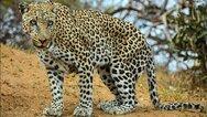 Φλόριντα: Άγρια επίθεση λεοπάρδαλης σε 50χρονο