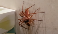 Αράχνη εναντίον κατσαρίδας (video)