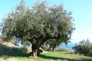 Πάτρα: Τα ελαιόδεντρα του Δήμου για 7η χρονιά στον ΚΟΔΗΠ