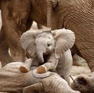 Ταϊλάνδη: Μικρός ελέφαντας είναι άσσος στο κρυφτό (φωτο)