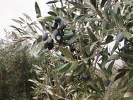 ΟΠΕΚΕΠΕ: Επιχορήγηση παραγωγών ελιάς Καλαμών, καρπουζιού, πατάτας και θερμοκηπιακών καλλιεργειών Κρήτης