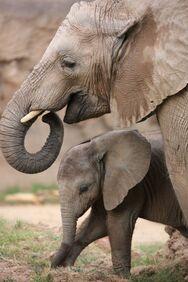 Ζωολογικός κήπος στο Τόκιο: Γεννήθηκε το πρώτο ελεφαντάκι μετά από 138 χρόνια