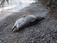 Αίγιο: Το ψάρι των 2,5 μέτρων που ξεβράστηκε στην παραλία του Λόγγου