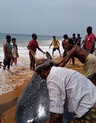 Ινδία: Φαλαινοκαρχαρίας σώθηκε με τη βοήθεια των κατοίκων της περιοχής (video)