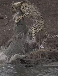 Κροκόδειλος άρπαξε τσιτάχ την ώρα που έπινε νερό