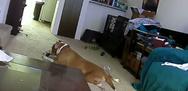 Σκύλος βάζει κατά λάθος φωτιά στο χαλί (video)