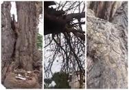 Το ζωντανό μνημείο της φύσης στην Πάτρα που βρίσκεται στην Άνω πόλη (video)