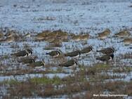 Πραγματοποιήθηκαν οι μεσοχειμωνιάτικες καταμετρήσεις υδρόβιων πουλιών στο Εθνικό Πάρκο Υγροτόπων Κοτυχίου - Στροφυλιάς (φωτο)