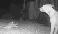 Σκύλοι σε μια τρομακτική συνάντηση με κροκόδειλο (video)