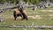 Αρκούδα και βίσωνας σε μια μάχη επιβίωσης (video)