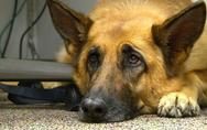 Ινδία: Ο στρατός επιστρατεύει σκύλους για να ανιχνεύουν τον Covid-19