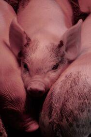 Τα γουρούνια μπορούν να παίξουν… video games