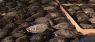 ΗΠΑ: 7.000 θαλάσσιες χελώνες παγωμένες στις ακτές του Τέξας
