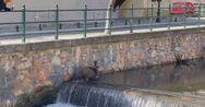 Φλώρινα: Αγριογούρουνο να πηγαίνει «σφαίρα» μέσα σε ποτάμι (video)