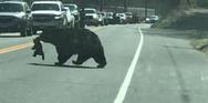 Μαμά αρκούδα πασχίζει να διασχίσει τον δρόμο με τα ατίθασα μικρά της (video)