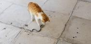 Ναύπακτος: Γάτα 'παίζει' με ζωντανό φίδι (video)