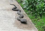 Πάτρα: Η κόμπρα των Ζαρουχλεΐκων αποδείχθηκε... μαϊμού