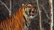 Τίγρης της Σιβηρίας επιτίθεται και σπέρνει τον πανικό στους κατοίκους ενός χωριού της Κίνας (video)