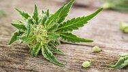 'Πιάστηκε' καλλιεργητής ναρκωτικών σε χωριό του Πύργου
