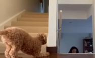Aξιολάτρευτος σκύλος λατρεύει να τρομάζει την ιδιοκτήτρια του (video)