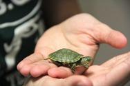 «Μόδα» οι μπομπονιέρες με ζωντανές χελώνες στην Κύπρο